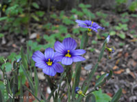 Sisyrinchium bellum 'Rocky Point' - Dwarf Blue-Eyed Grass